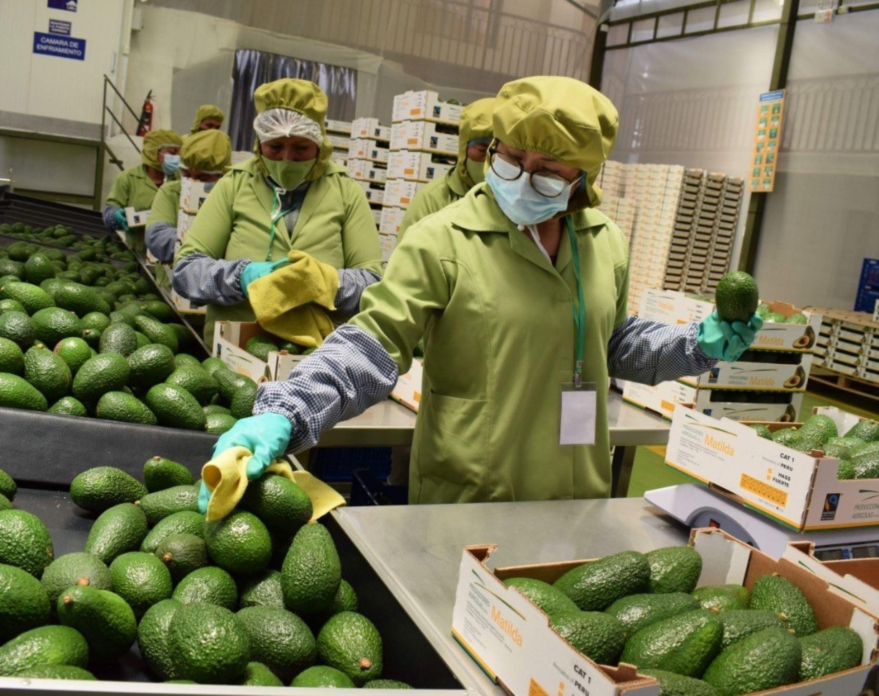 Cusco avanza en exportación de palta hass y envía 42 toneladas a Suiza. Por primera vez cargamento es empacado en la misma zona de producción y ya no es necesario trasladarlo a Ica para este proceso.  ANDINA/Difusión