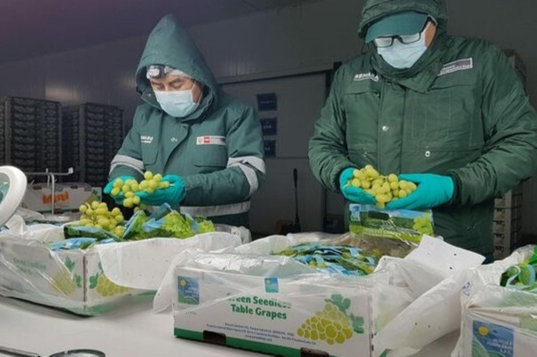 Inspectores de Senasa evalúan calidad de la uva. Foto: Cortesía.