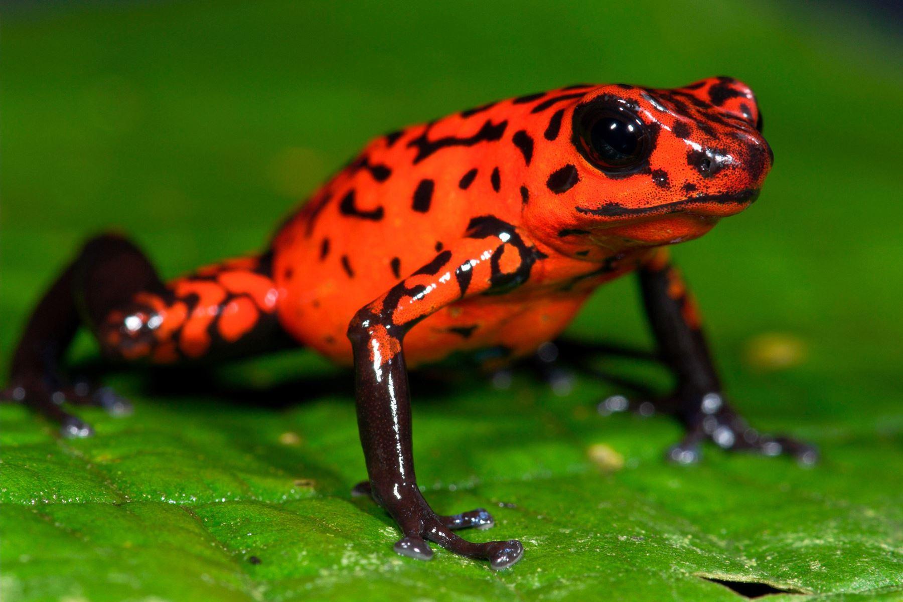 """""""Es extremadamente raro que se describan estas especies en la actualidad"""", indicó el biólogo panameño Abel Batista, uno de los investigadores involucrados en el hallazgo. Foto: Internet"""