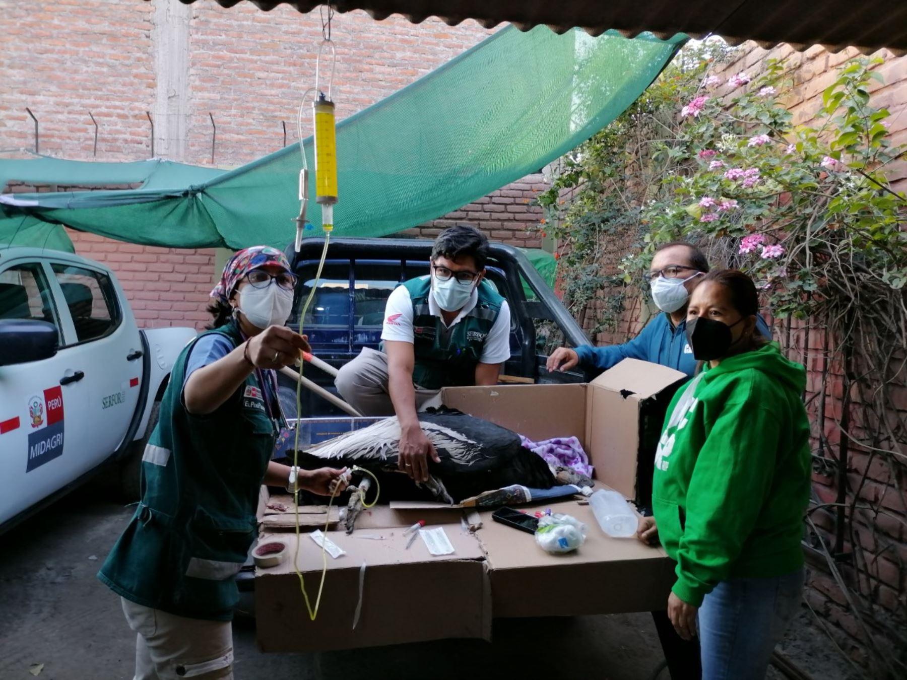 Arequipa: Serfor recupera cóndor intoxicado que no podía volar ni comer