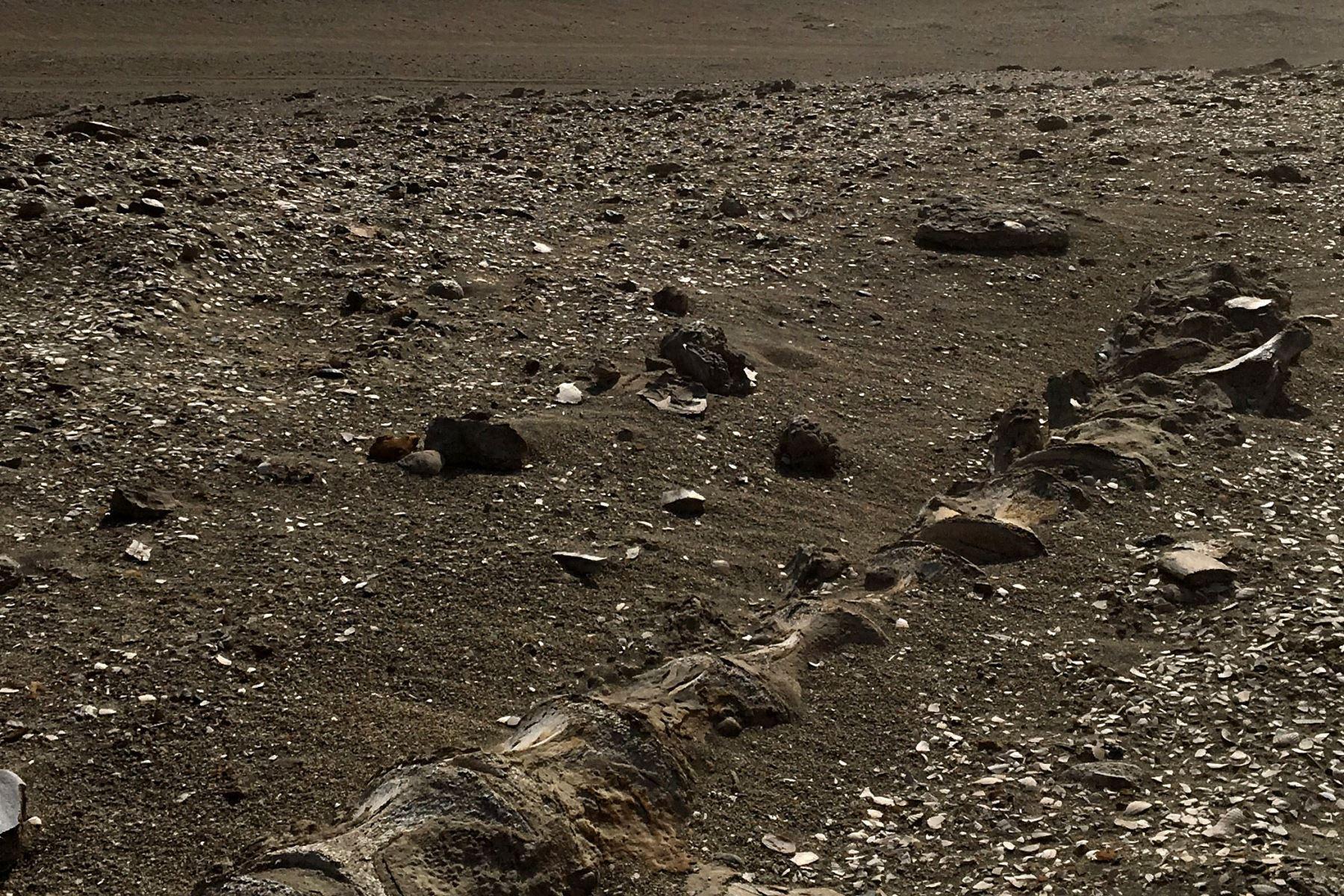 Investigadores de la Universidad Cayetano Heredia desarrollan un proyecto que busca poner en valor científico y turístico el yacimiento paleontológico de Sacaco y su museo de sitio, ubicado en el distrito de Bella Unión, en la provincia arequipeña de Caravelí. El lugar posee un gran número de esqueletos de ballenas y otros fósiles.  Foto: Rodolfo Salas Gismondi
