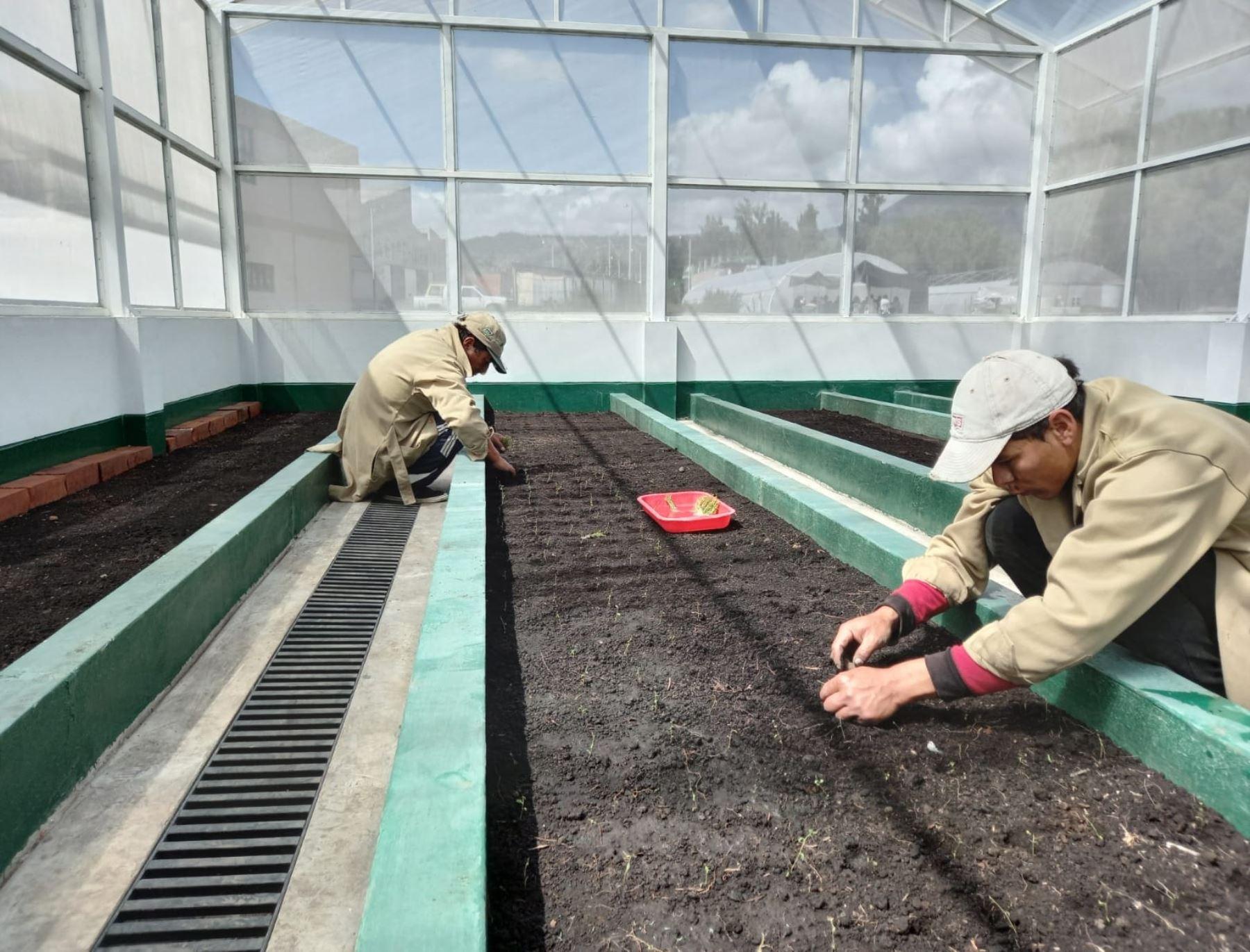 El nuevo laboratorio de cultivos de tejido e invernaderos que implementó el INIA en Ayacucho ha producido 14,000 plántulas de diversas variedades de papa certificada. ANDINA/Difusión