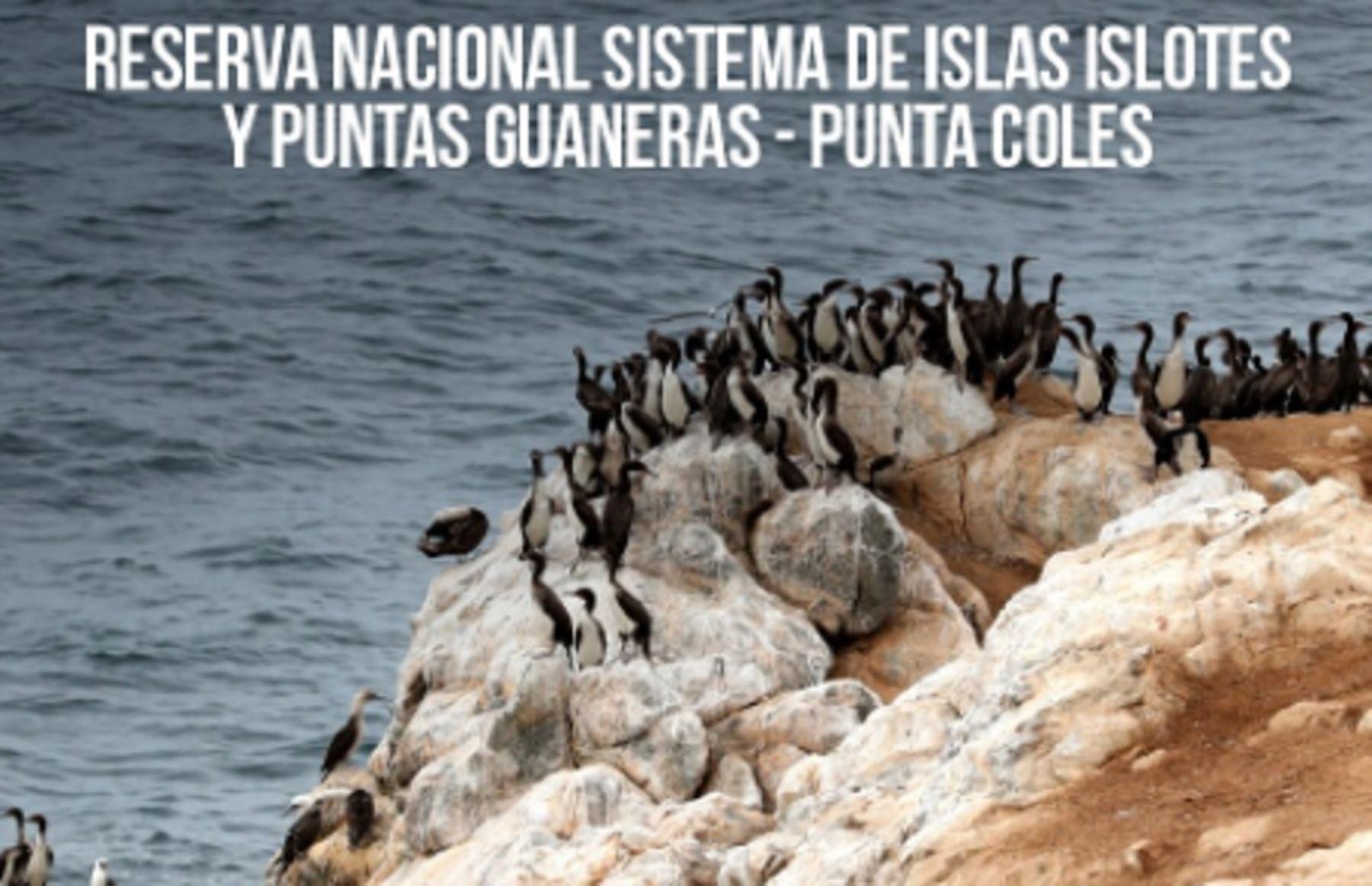 La Reserva Nacional Punta Coles es el hábitat de las tres aves que producen guano (guanay, piquero y pelícano).