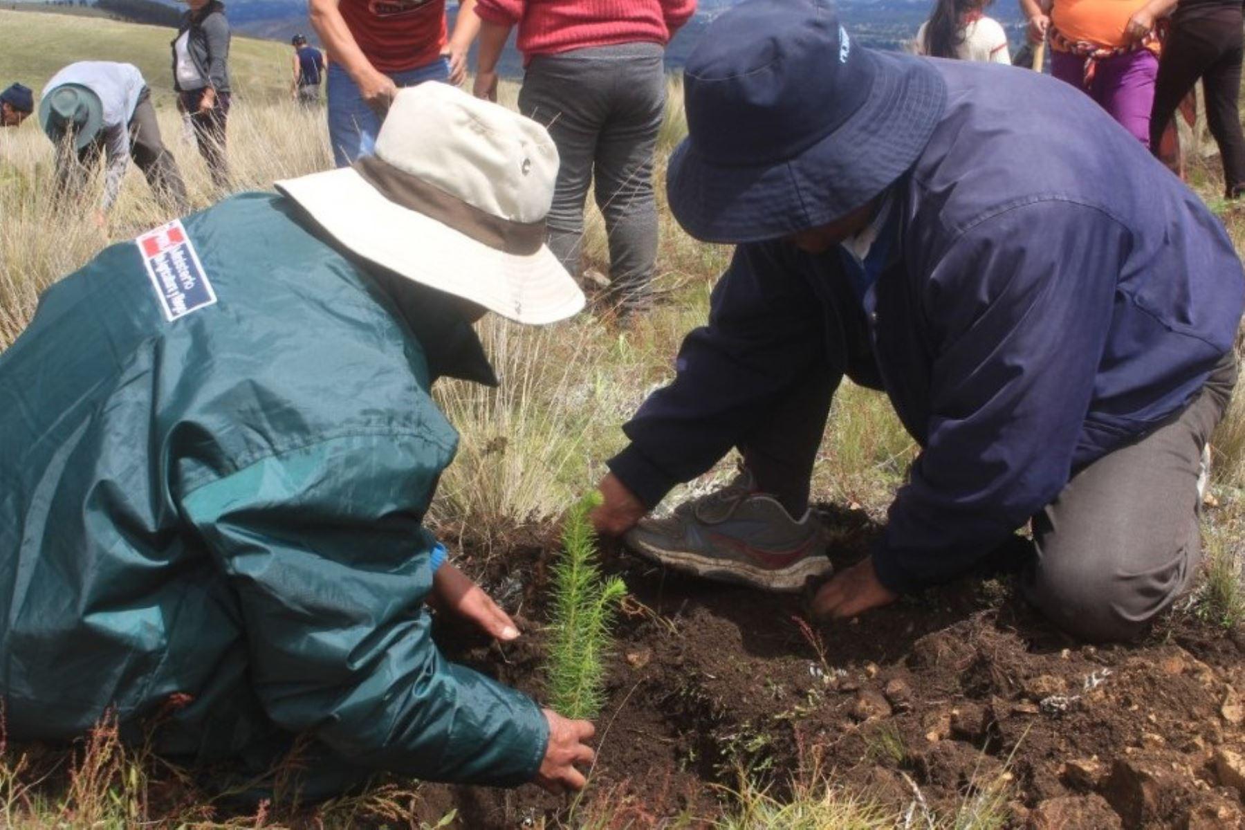 Agro Rural promueve la reforestación de tierras degradadas en el caserío de Oriente Huaychaca, en la provincia liberteña de Julcán. Foto: ANDINA/Difusión