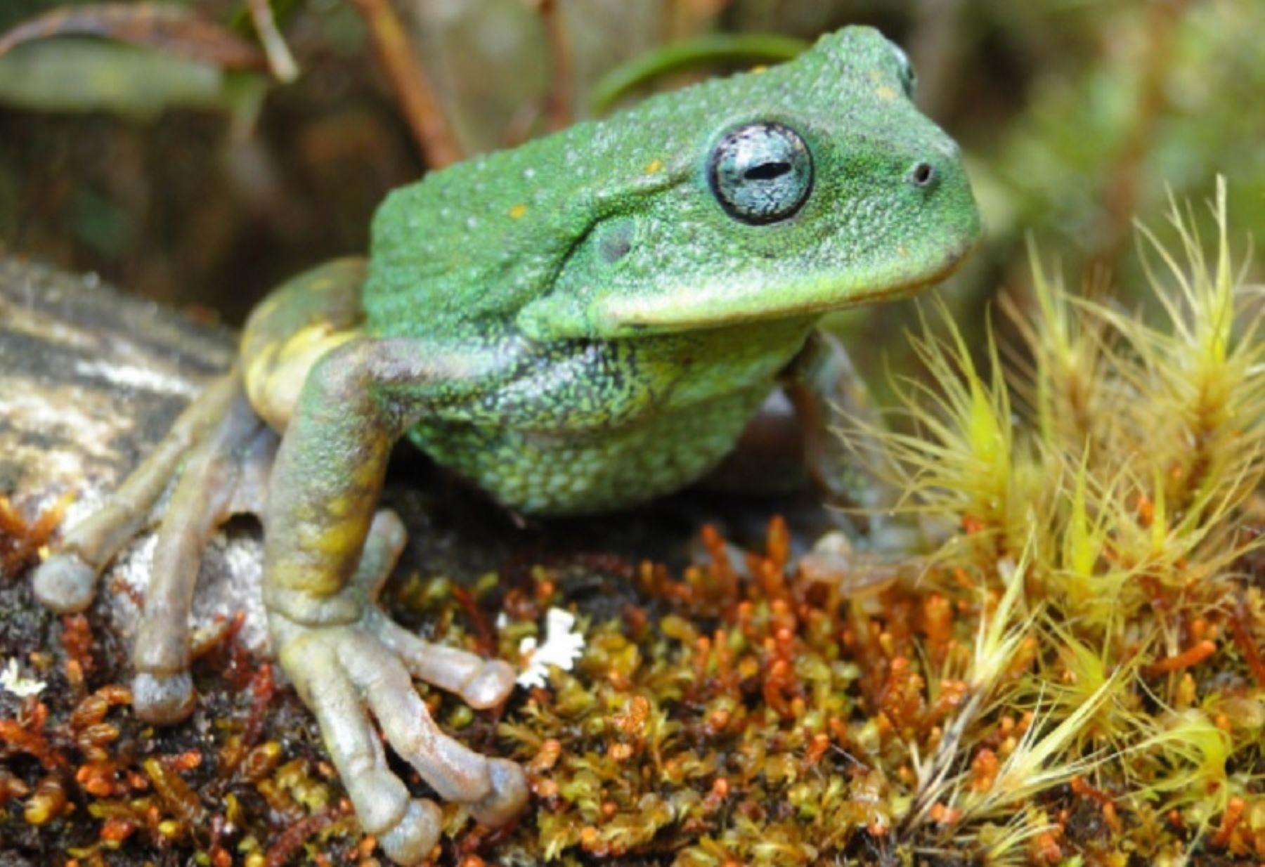 Gastrotheca gemma sp. nov. es una nueva especie de rana marsupial que ha sido registrada por primera vez en el Santuario Nacional Cordillera Colán, ubicada en la región Amazonas, hecho que es considerado como un importante hallazgo para la ciencia. Foto: Sernanp