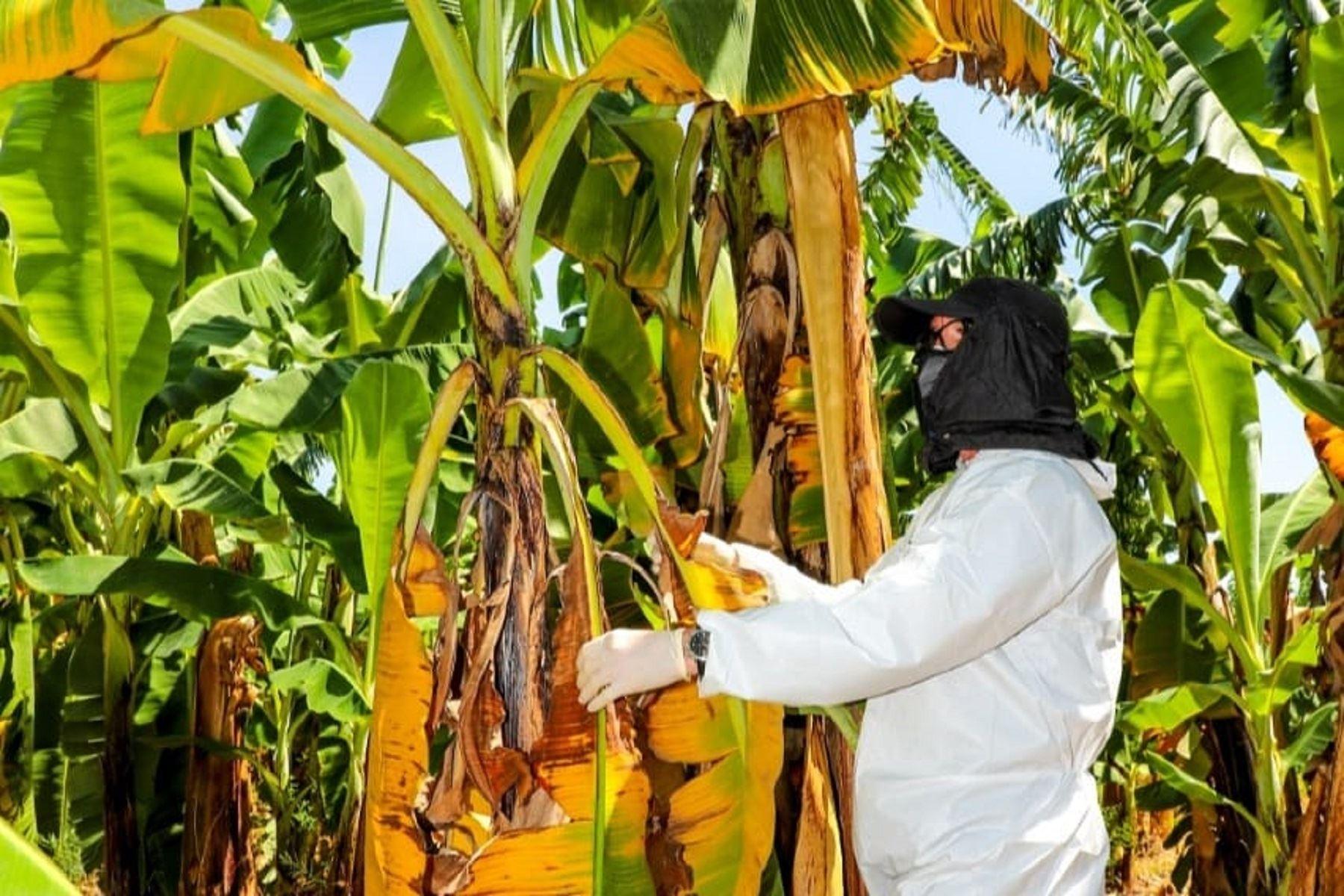 Cultivo de plátanos. Cortesía Senasa