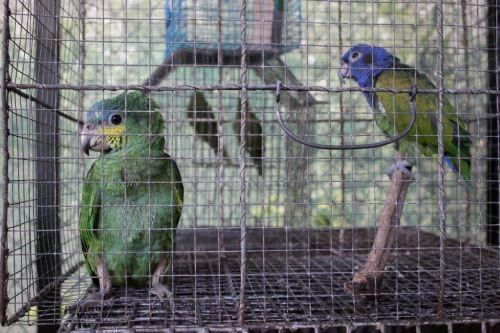 El comercio no autorizado de fauna silvestre es considerado como una de las mayores actividades del crimen organizado. A nivel mundial, el tráfico ilegal de la fauna silvestre es uno de los comercios ilegales más lucrativos (excluyendo los productos hidrobiológicos y la madera) y genera entre US$ 7,800 y 10,000 millones por año, según la Estrategia Nacional para Reducir el Tráfico Ilegal de Fauna Silvestre 2017-2027. ANDINA/Difusión