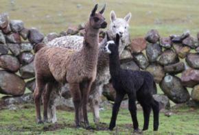 Cuatro crías de llama que nacieron este año gracias a una transferencia de embriones es el logro de una investigación pionera en Ayacucho desarrollada por científicos de la Universidad Nacional San Cristóbal de Huamanga. Foto: Universidad Nacional San Cristóbal de Huamanga