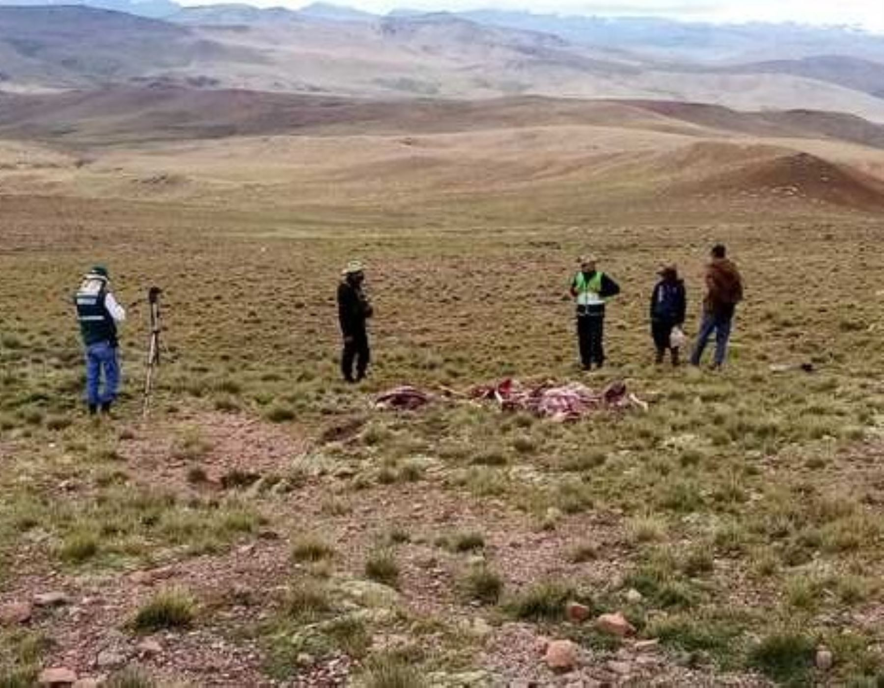 Arequipa en alerta por la caza furtiva de ocho vicuñas reportada en Cusco. ANDINA/Difusión