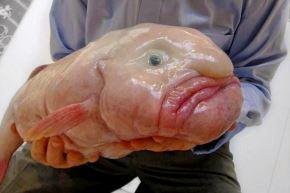 El pez borrón se hizo famoso después de que se fotografiara a un ejemplar en 2003, y su apariencia gelatinosa lo convirtió en un regalo para la cultura de internet. Foto: Internet