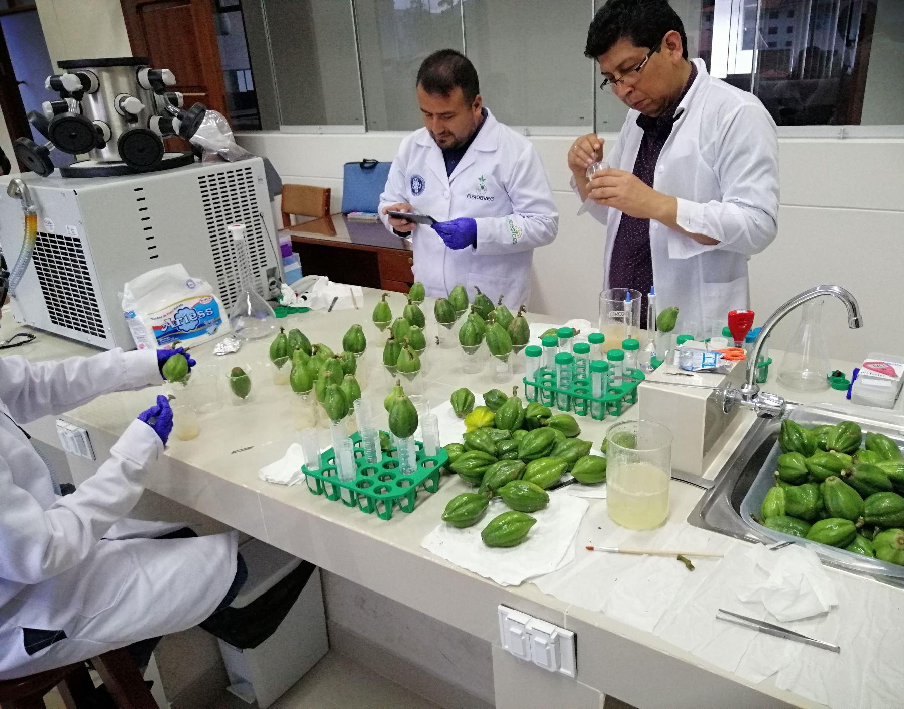 Investigadores de la Universidad Nacional Toribio Rodríguez de Mendoza de Amazonas producen queso orgánico con cuajo natural elaborado a base de papaína liofilizada. ANDINA/Difusión
