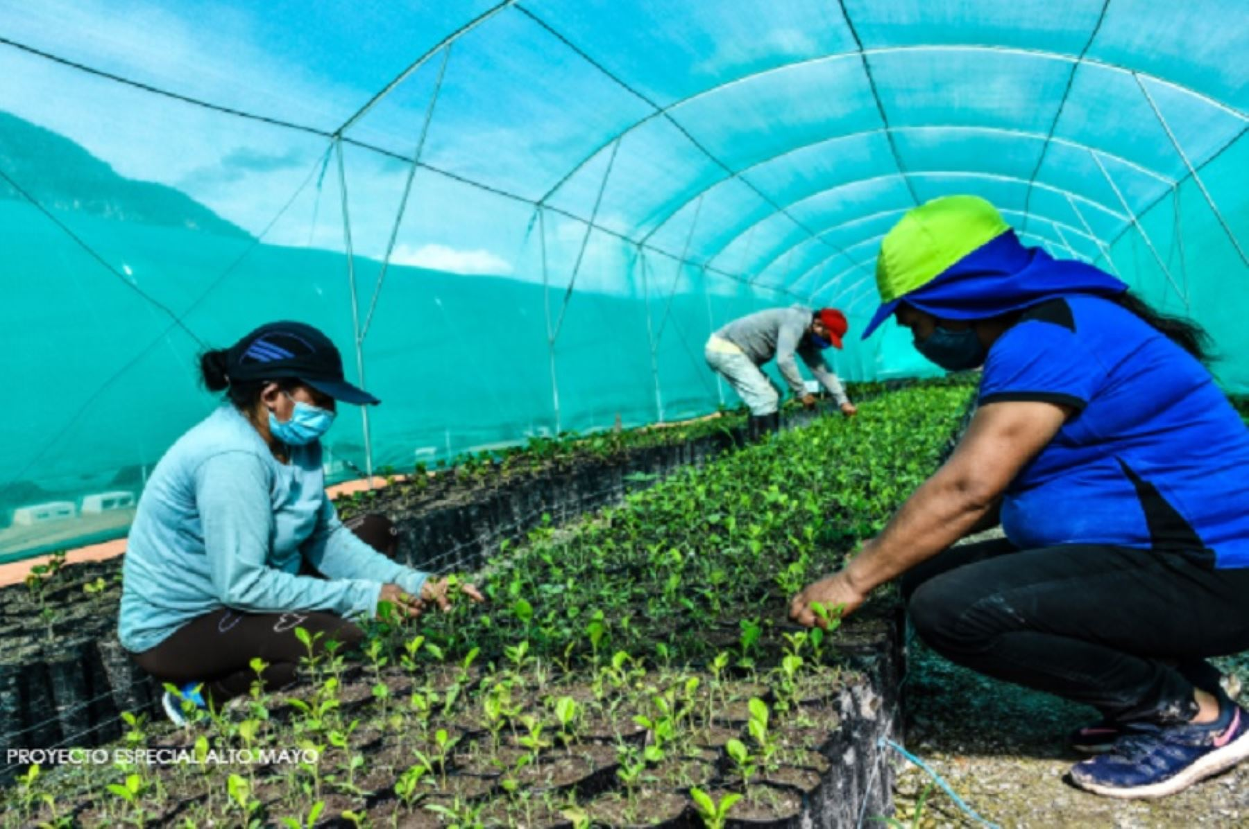 El gobierno regional de San Martín tiene como meta producir y sembrar 10 millones de árboles en zonas degradadas de ese departamento hasta fines de 2022. Foto: Gobierno Regional de San Martín/Proyecto Especial Alto Mayo