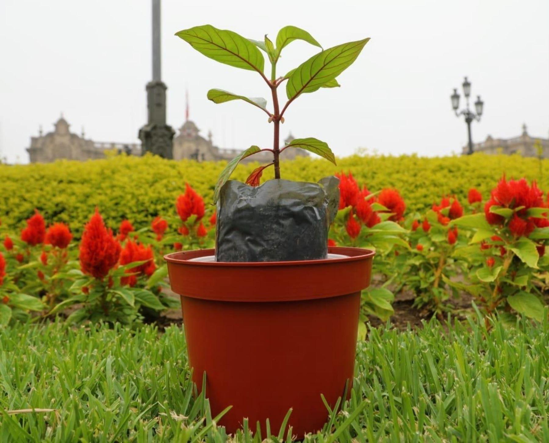 Investigación científica busca descifrar el ADN del emblemático árbol de la quina para producir plantones de élite, afirmó el ministro de Desarrollo Agrario y Riego, Federico Tenorio.ANDINA/Difusión