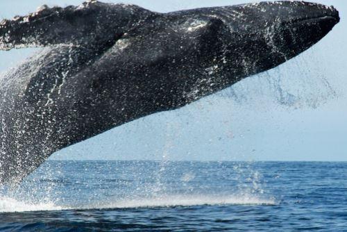 Hoy se conmemora el Día Mundial de las Ballenas, y cabe destacar que el mar peruano constituye un corredor biológico privilegiado para el tránsito de estos mamíferos marinos, los más grandes del planeta, en especial de las ballenas jorobadas. ANDINA/Difusión