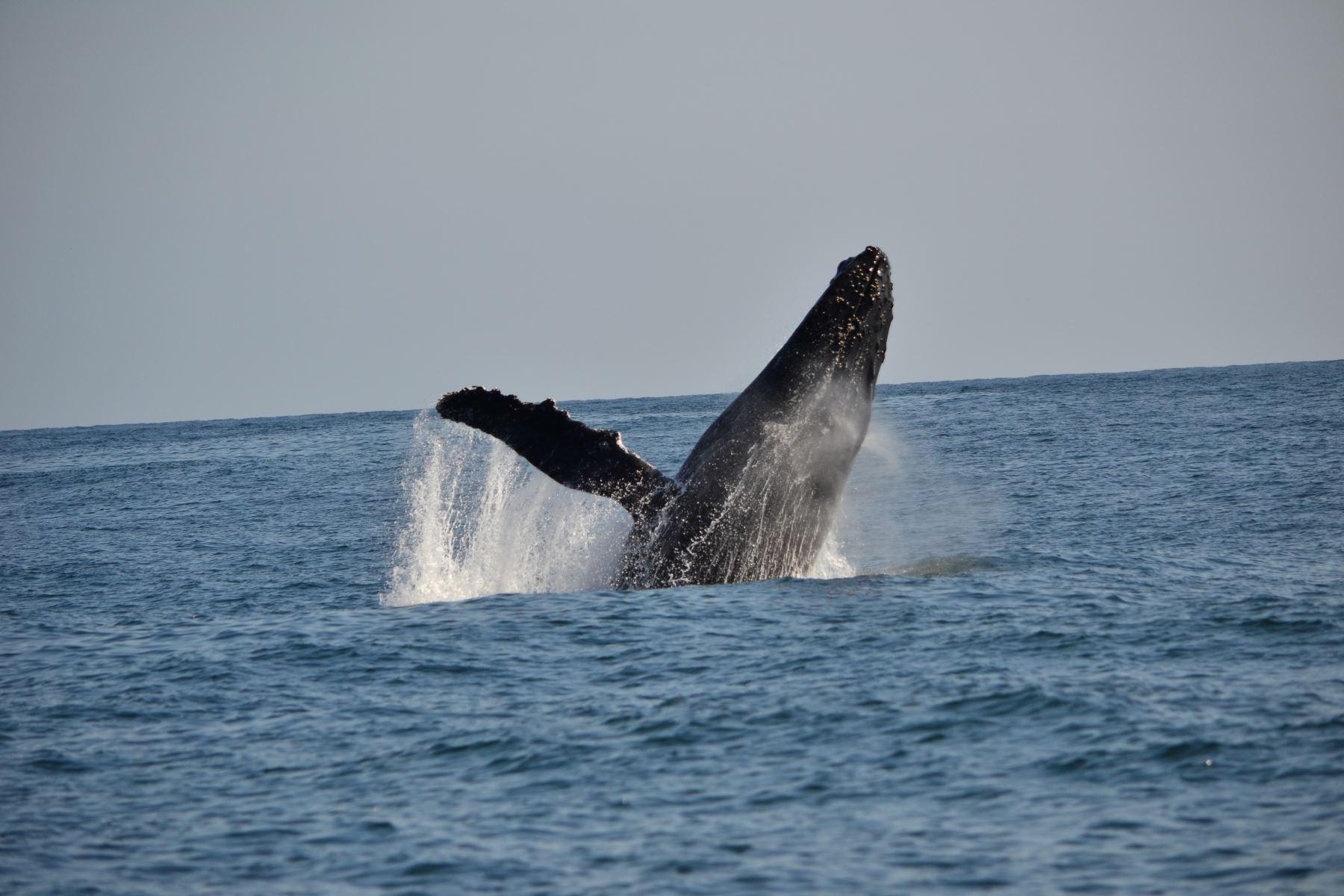Tumbes busca posicionarse como el lugar ideal para el avistamiento de ballenas. Foto: Cortesía