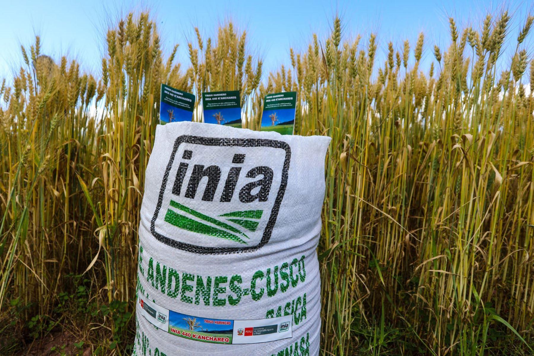 Tras 10 años de investigación nació el trigo harinero 440-Kanchared, resistente a enfermedades del cultivo y estrés hídrico. Foto: ANDINA/Midagri