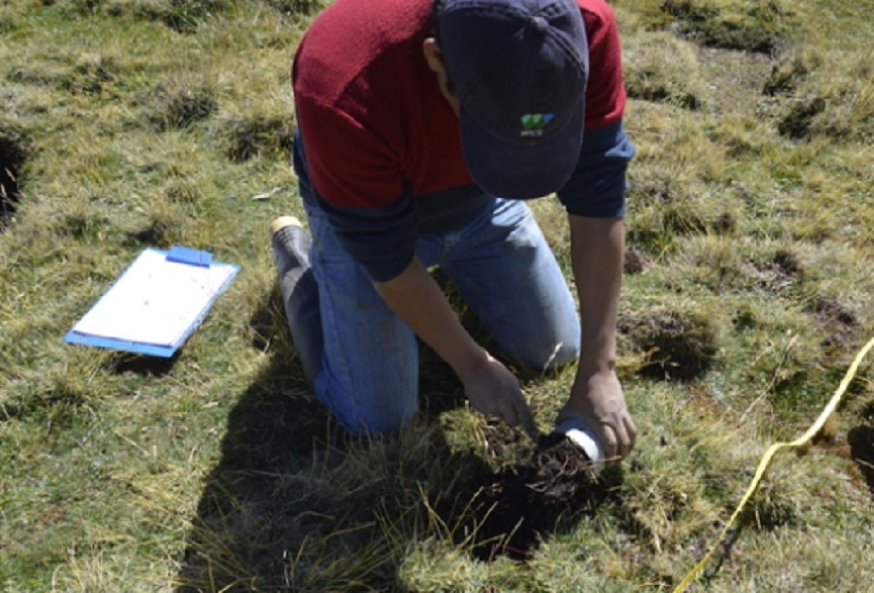 Una investigación del Instituto Nacional de Investigación en Glaciares y Ecosistemas de Montañas (Inaigem), entidad adscrita al Ministerio del Ambiente (Minam), identificó tres especies vegetales con capacidad para remediar la contaminación de agua y suelos por metales en los nevados de la región Áncash.