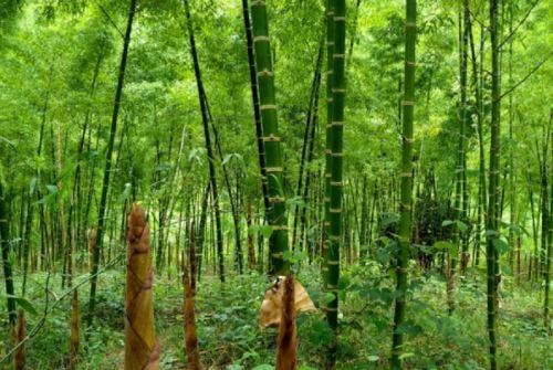 La Semana del Bambú 2021 se realizará del 27 al 29 de octubre y mostrará el trabajo que realizan las mesas técnicas regionales del bambú de Amazonas, San Martín, Cajamarca, Junín, Ucayali, Piura y Cusco y los avances en la gestión que tienen estos espacios de coordinación de diversos actores relacionados a la promoción del uso de esta especie forestal no maderable con gran potencial comercial. ANDINA/Difusión