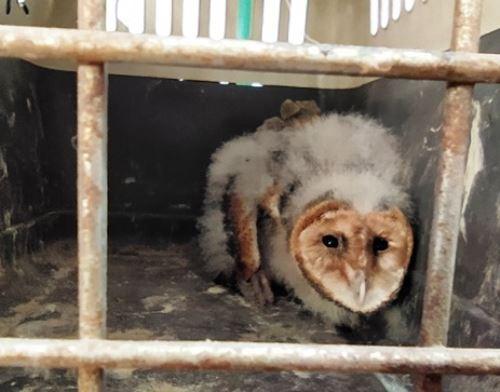 El Serfor y la Policía Nacional rescataron a un pichón de lechuza en Piura que estuvo a punto de ser comercializado por traficantes de fauna silvestre.