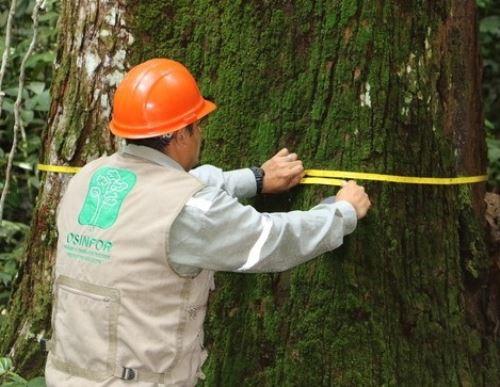 Osinfor liderará el esfuerzo de las autoridades forestales para articular la medición del índice de tala y comercio ilegal de madera en Perú. ANDINA/Difusió