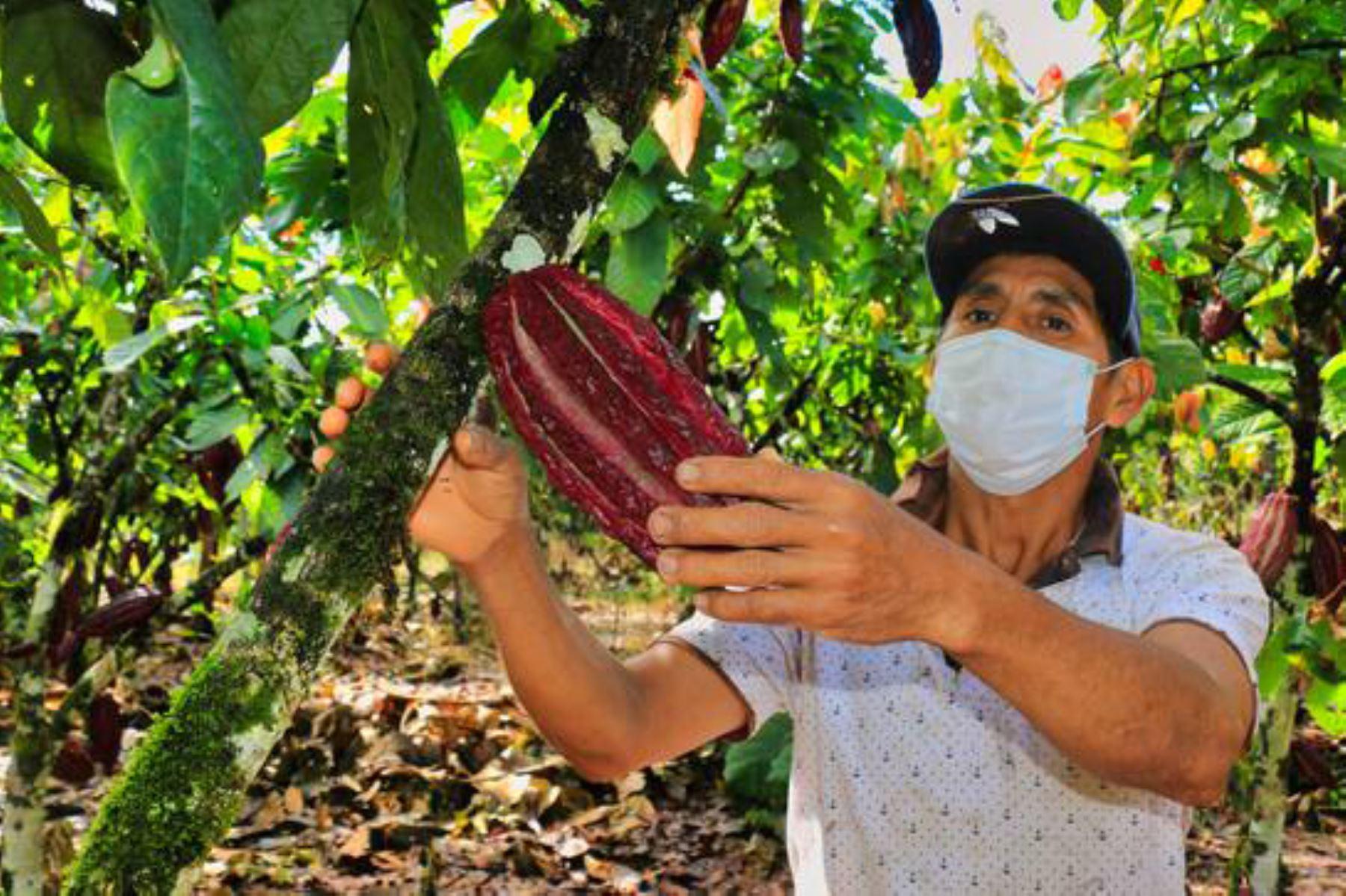 Pese a la emergencia sanitaria, los especialistas de Devida brindan acompañamiento a lo largo de la cosecha, poscosecha y asociatividad.