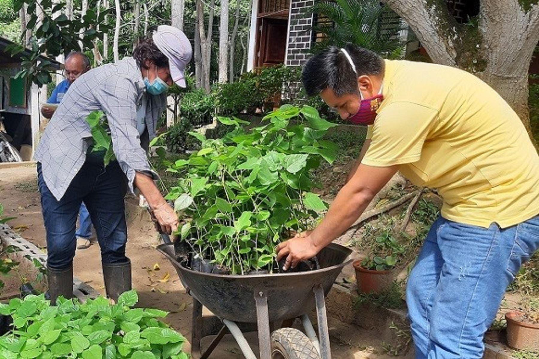 San Martín: avance en estrategia de reforestación alcanza un promedio de 780 hectáreas de siembra. Foto: difusión.