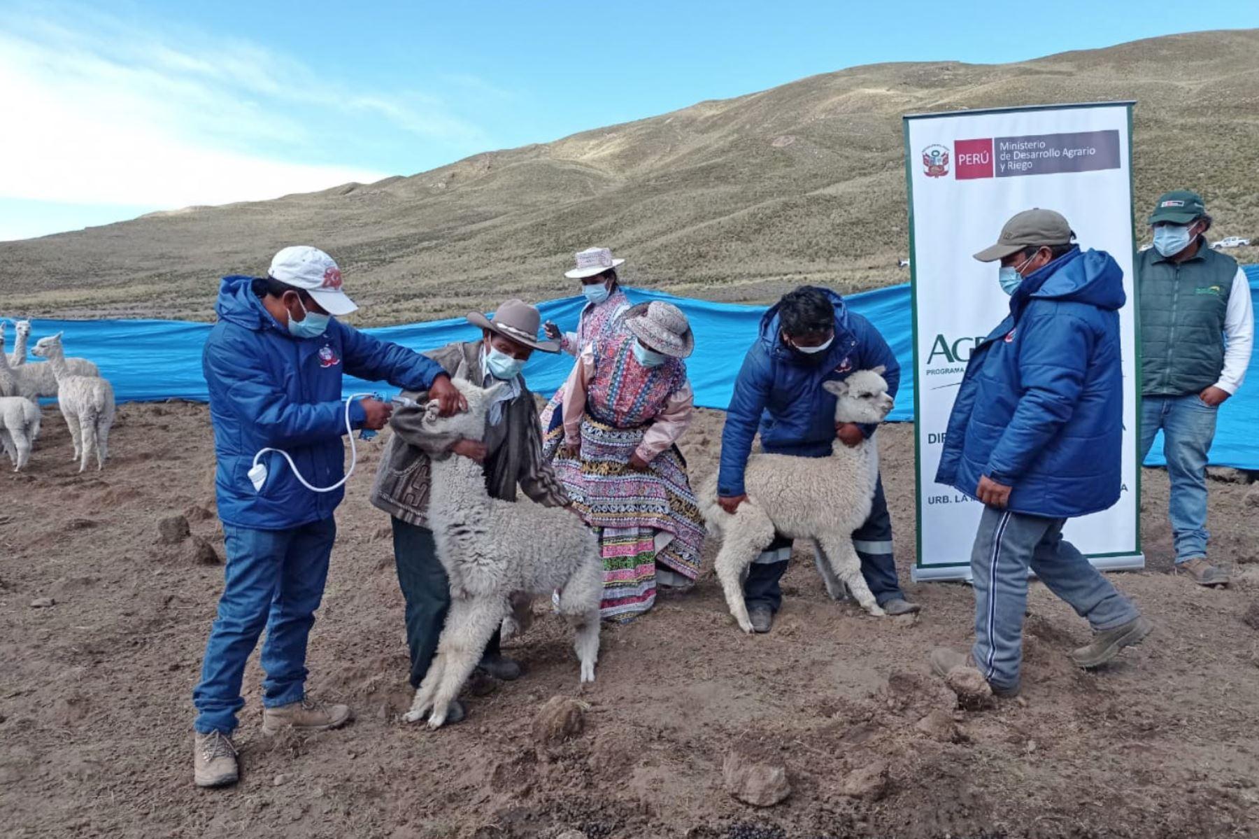 Aplicación de medicamentos ayuda a prevenir enfermedades infecciosas y parasitarias en el ganado. Foto: ANDINA/Difusión
