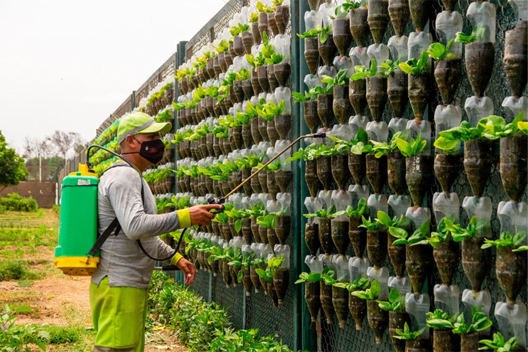 Cultivos son instalados en 11 mil macetas hechas con material reciclable de botellas de plástico sobre un área de 600 metros líneas de paneles. Foto: ANDINA/Municipalidad de Surco