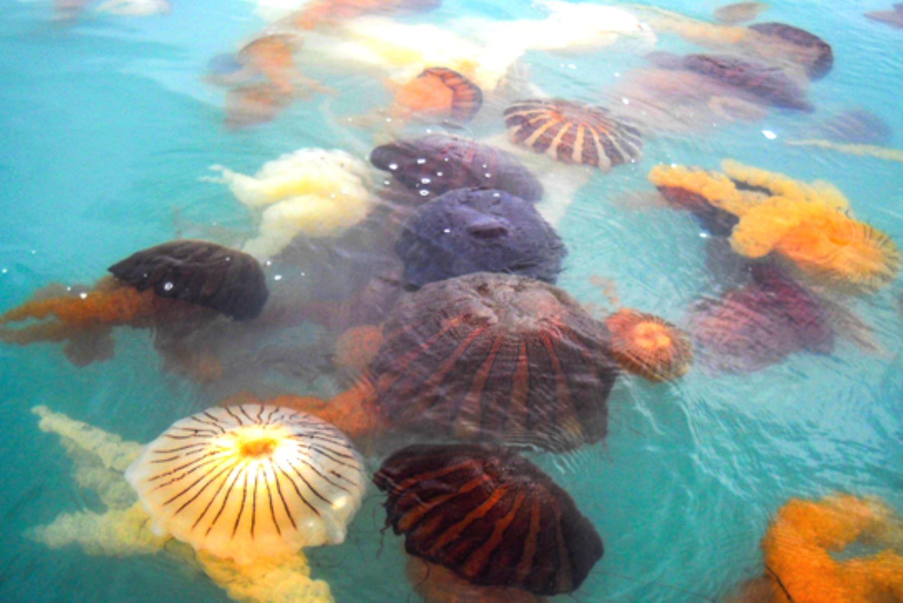 Callao: Imarpe reporta proliferación de medusas en La Punta. Foto: ANDINA/difusión.