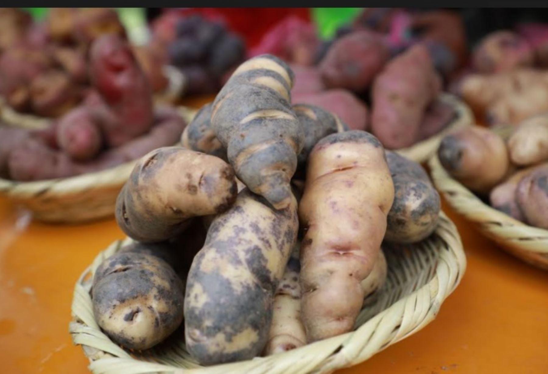 Productores de Tarma, región Junín, conservan la alta calidad genética de papa nativa con apoyo del INIA.