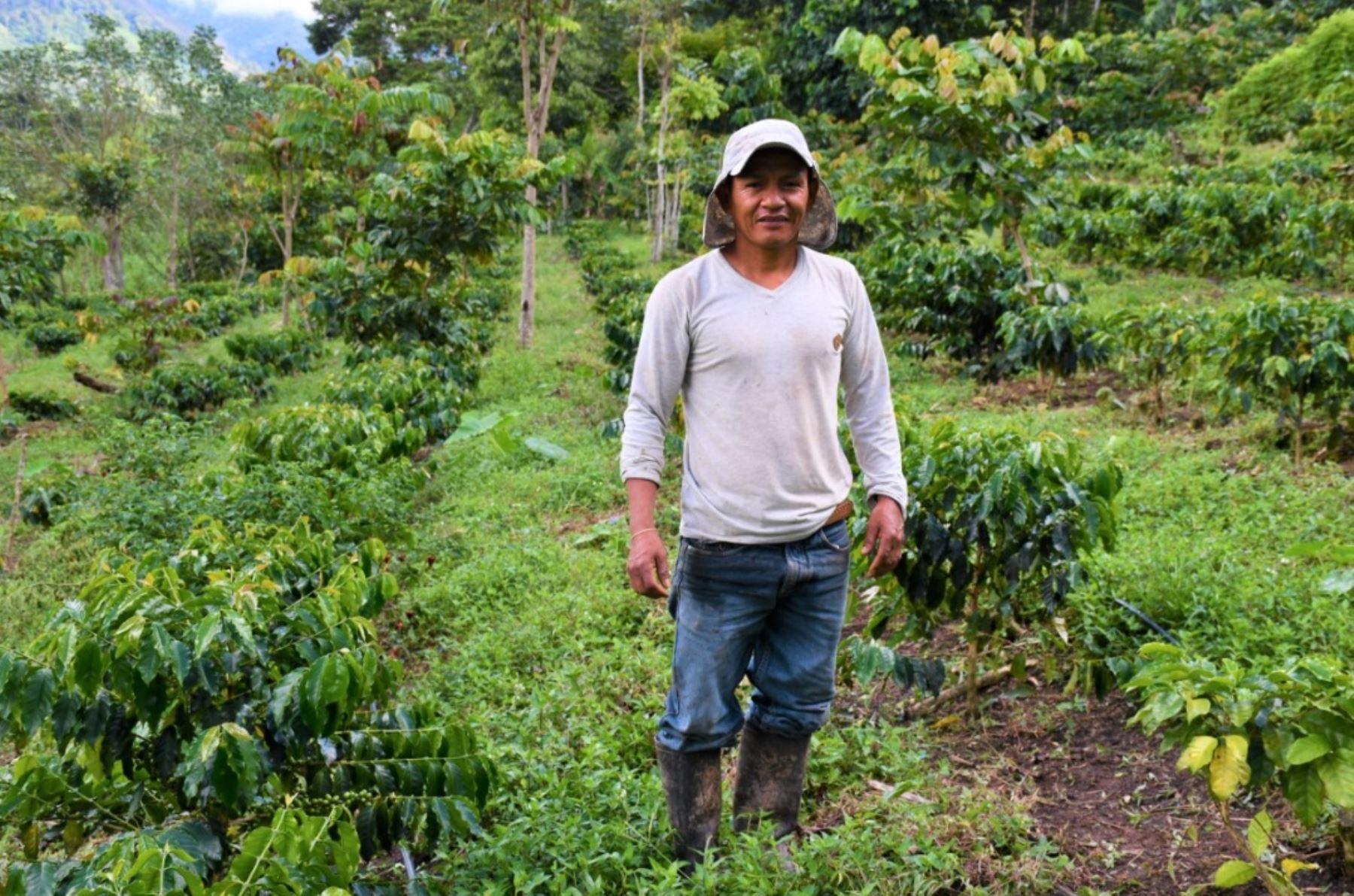 San Martín: cafetaleros aumentan si producción de 30 a 70 quintales por hectárea