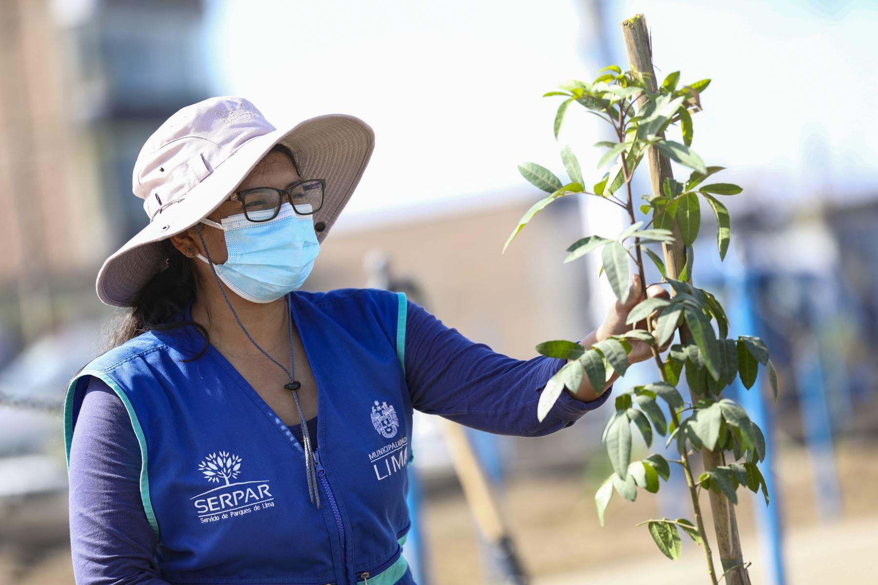Municipalidad Metropolitana de Lima  realiza plantado de 200 árboles en el distrito de Villa el Salvador. Foto: Municipalidad de Lima