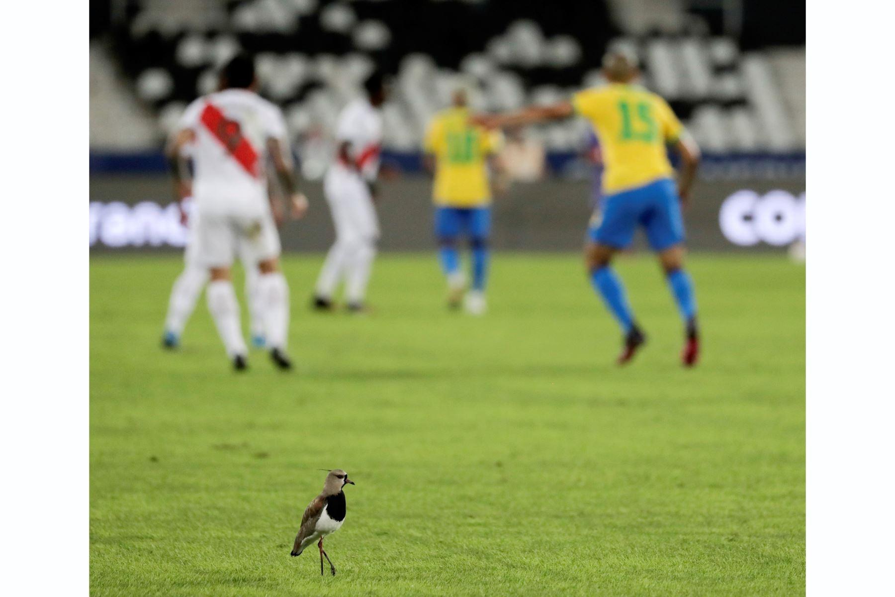 Un ave se posa sobre la cancha durante un partido entre Brasil y Perú por el grupo B de la Copa América, en el Estadio Olímpico Nilton Santos en Río de Janeiro, Brasil. Foto: EFE