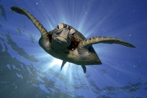 De las siete especies de tortugas marinas que existen en el planeta, cinco habitan en el Perú. Foto: ANDINA/Serfor