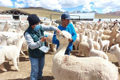 Agro Rural inicia jornada de aplicación de kits veterinarios a  67 mil cabezas de ganado en zonas altoandinas de la región Lima