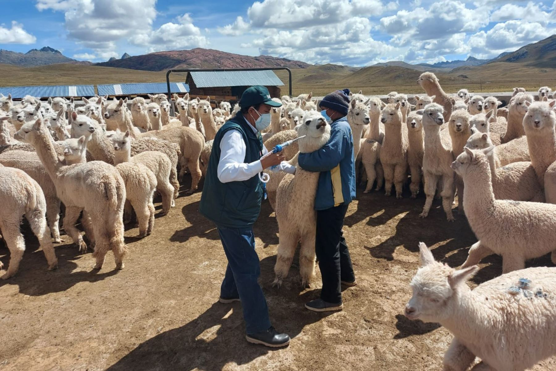 El Ministerio de Desarrollo Agrario y Riego a través de Agro Rural, inició la jornada de aplicación de los kits veterinarios en salvaguarda de 67 mil cabezas de ganado, entre alpacas y ovinos, de las zonas altoandinas de la región Lima. Foto: Midagri