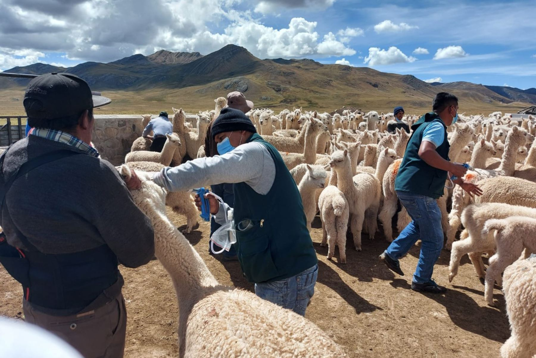 En el sector de Viscollo, en el distrito de Laraos, provincia de Yauyos, ubicado a 4,458 m.s.n.m., se realizó la primera etapa de este proceso de dosificación a 1000 cabezas de ganado.  Foto: Midagri