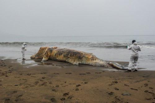 Los varamientos de fauna marina ocurren a nivel mundial y la costa peruana no se encuentra ajena a ellos. En este escenario el Instituto del Mar del Perú (Imarpe) asume un rol importante en el campo científico, interviniendo en la investigación, monitoreo y atención de estos eventos.  ANDINA/Difusión