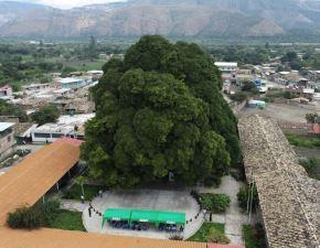 Serfor reconoció al Ficus de Malcas como el árbol patrimonial de Condebamba, distrito ubicado en la provincia de Cajabamba, región Cajamarca.
