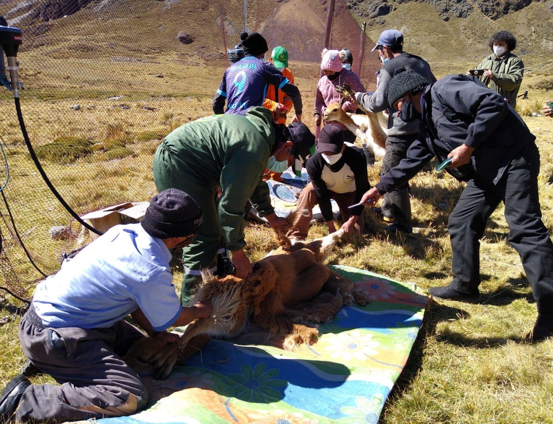 Junín: comuneros de Marancocha reanudan la esquila de vicuñas con nuevo protocolo