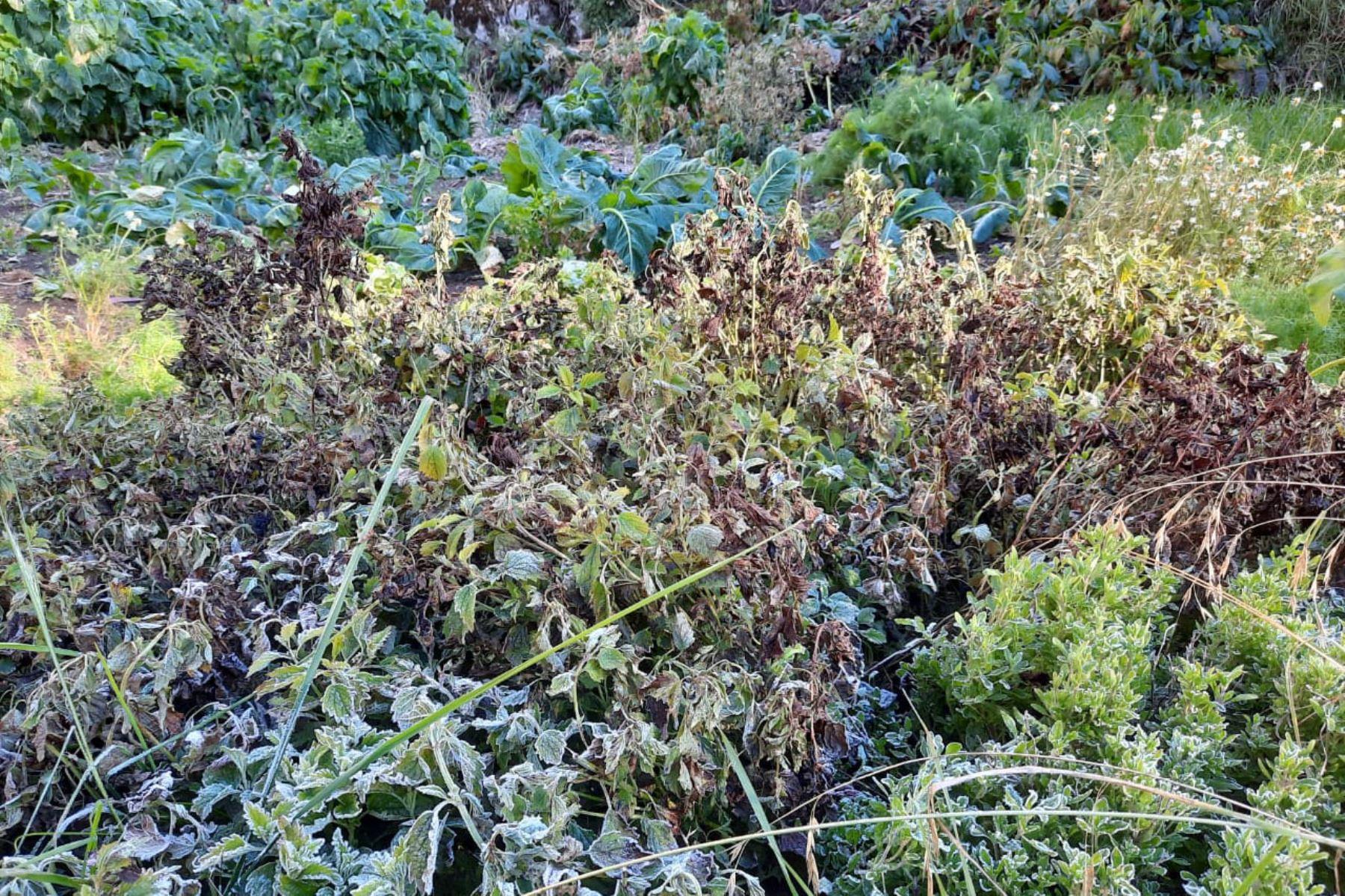 Áncash: heladas afectan cultivos del distrito de San Juan de Rontoy