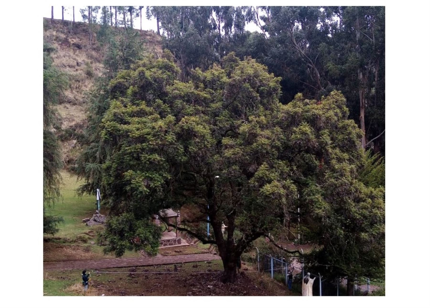 Cusco declarará como patrimoniales a dos árboles emblemáticos de 150 y 200 años ubicados en los santuarios del Señor de Huanca y la Virgen del Rosario de Huallhua, en la provincia de Calca.