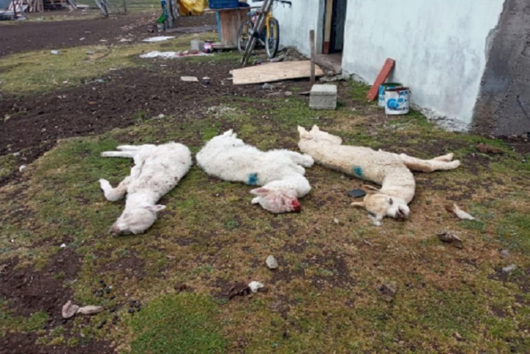 Intensas heladas causan muerte de más de 160 animales en Pasco