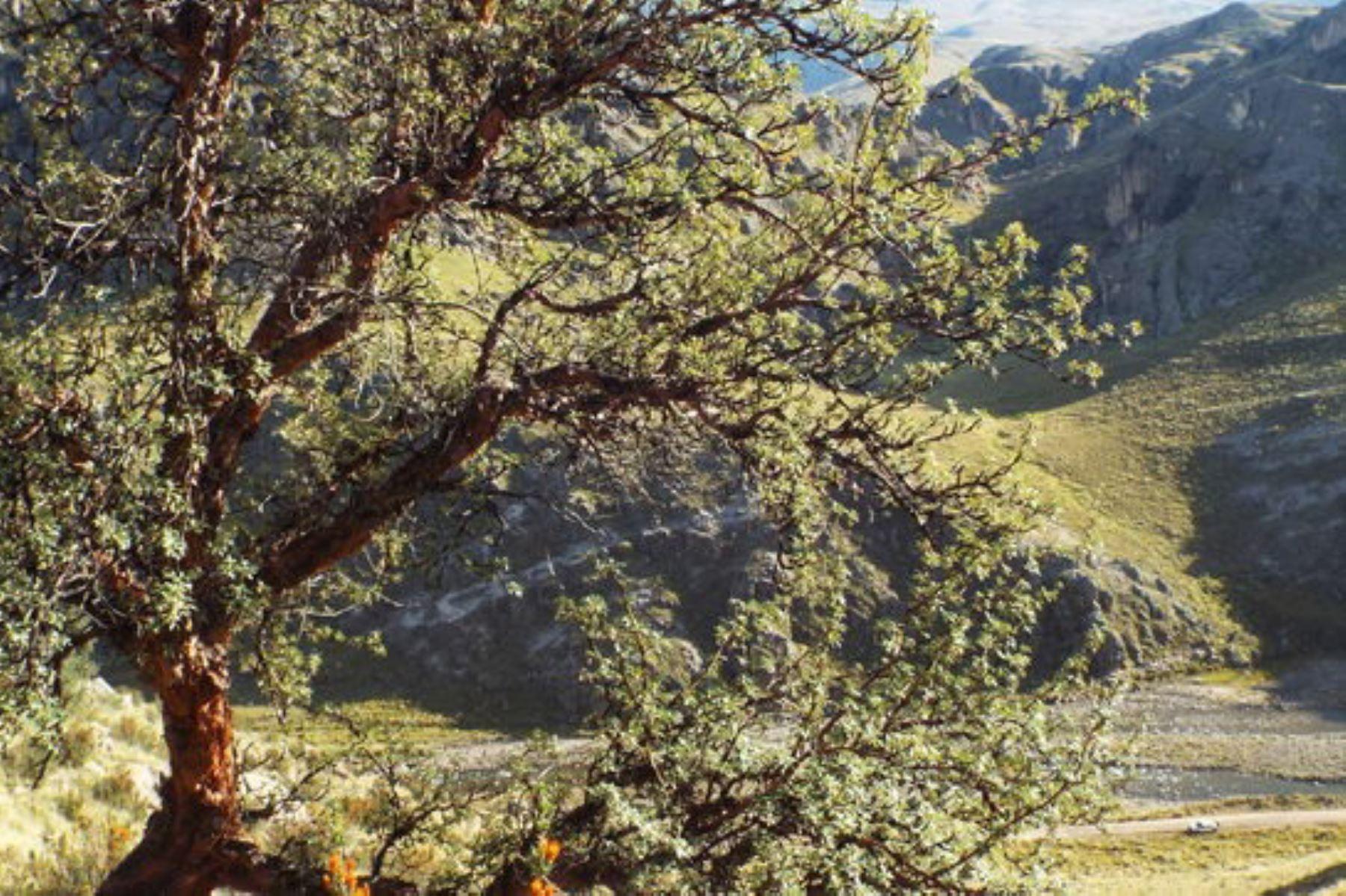Bicentenario: Serfor busca árboles patrimoniales en Puno para su conservación
