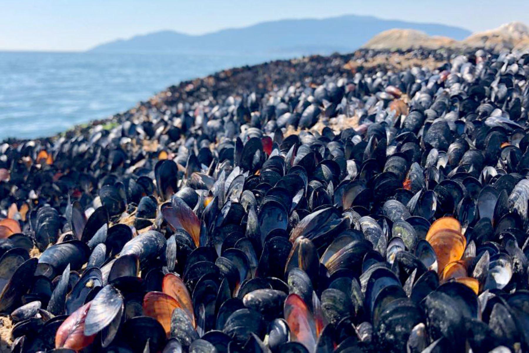 Calor extremo cocinó vivos a mejillones, almejas y otros mariscos en playas de Canadá