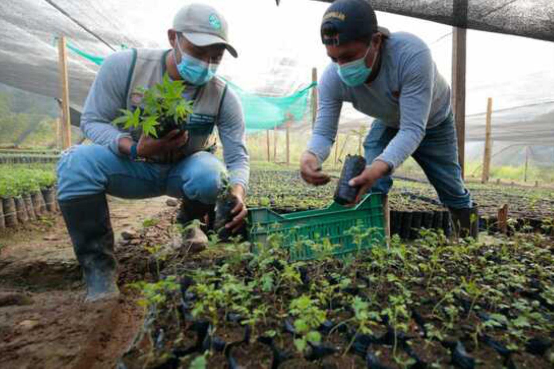 Región San Martín pone en marcha estrategia de reforestación en Papaplaya