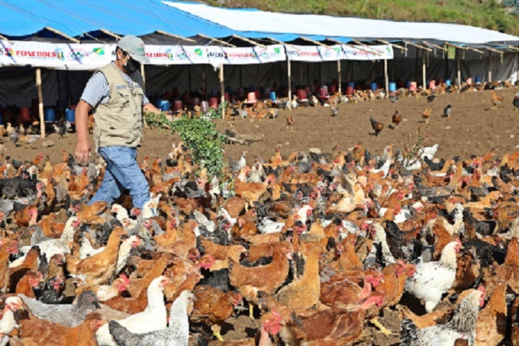 Foncodes entrega más de 8,000 gallinas criollas mejoradas a comunidades de Amazonas