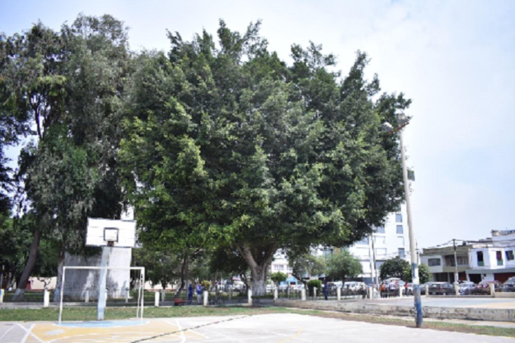 Bicentenario: autoridades trujillanas protegerán 7 árboles declarados patrimoniales