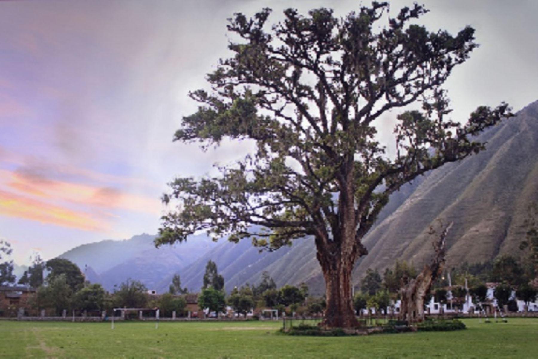La historia del pisonay, de 196 años, está vinculada a la visita de Simón Bolívar a los Andes peruanos y a su paso por Yucay, donde -cuentan los pobladores- el libertador plantó cuatro árboles de la especie pisonay, de los cuales solo el citado queda vivo y en pie.