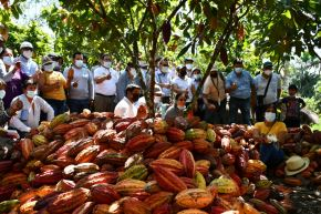 El cultivo de cacao no está exento de los peligros causados por el cambio climático. Cortesía
